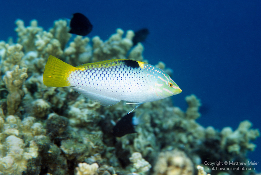 Moorea, French Polynesia; Checkerboard Wrasse (Halichoeres hortulanus), Initial Phase,  solitary, found in sand patches of lagoons and seaward reefs to 35 meters, in Indo-Pacific Ocean region, Red Sea and E. Africa to Micronesia, Line Island and French Polynesia, north to S.W Japan to S.E. Australia, to 20 cm , Copyright © Matthew Meier, matthewmeierphoto.com All Rights Reserved