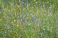 There are eight Blue Grouse chicks in this photo.  Can you find them?