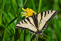 Canadian Tiger Swallowtail Butterfly perched on a dandelion