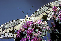 Giant swallowtail butterfly or great swallowtail on ironweed looking down from its perch above