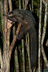 Aye-aye, Daubentonia madagascariensis, Ankanin'ny Nofy, Madagascar, semi captive, unusual primate, Near Threatened on the IUCN Red List, and listed on Appendix I of CITES