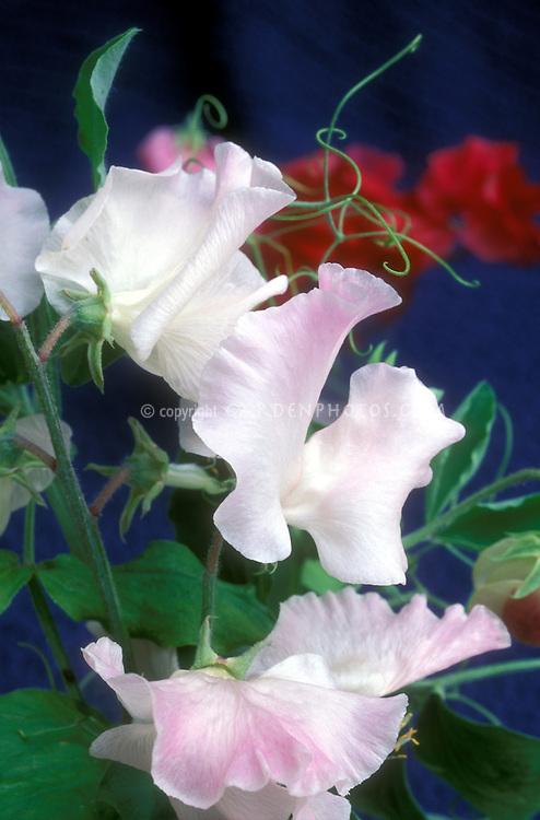 Lathyrus 'Anniversary' pink sweetpeas fragrant annual climbing vine with tendrils sweet peas