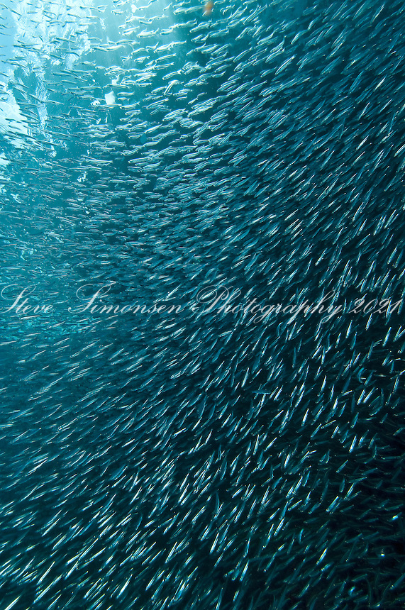 Schooling Silversides<br /> Carval Rock<br /> U.S. Virgin Islands