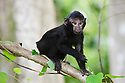 Baby crested black macaque in tree, (Macaca nigra), Indonesia, Sulawesi, endangered species, threatened through loss of habitat and bush meat trade, species only occurs on Sulawesi.