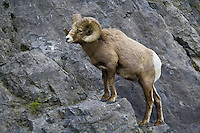 Big Horn Sheep climbing a rocky cliff