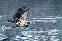 Inmature bald eagle in flight