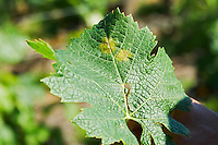 vine leaf with disease