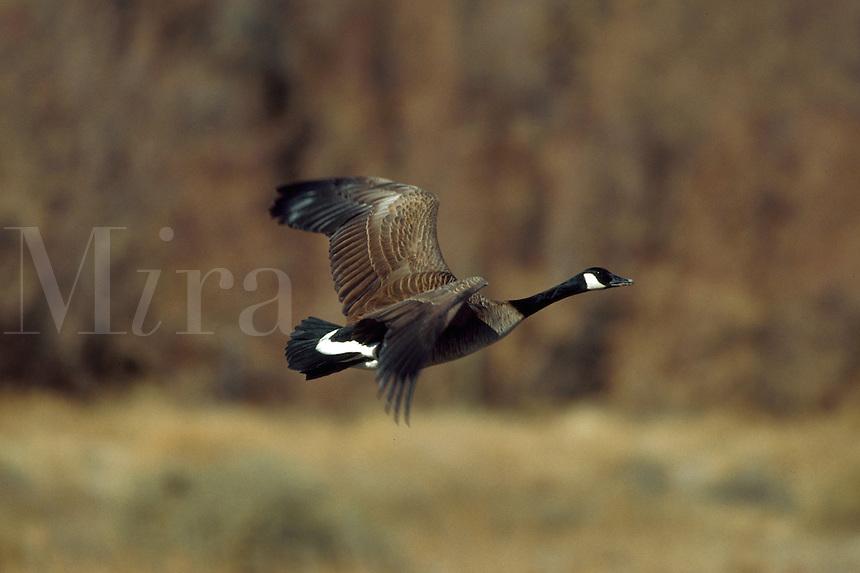 Canada Goose, Rising flight, Bosque del Apache Wildlife Refuge, New Mexico