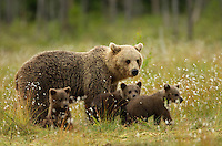 Brown Bear (Ursos arctos), female with young cubs, Finland, July 2012
