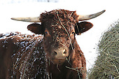 Salers beef animal with long horns  standing beside hay pile outdoors in winter. This breed is considered to be one of the oldest and most genetically pure of all European breeds.