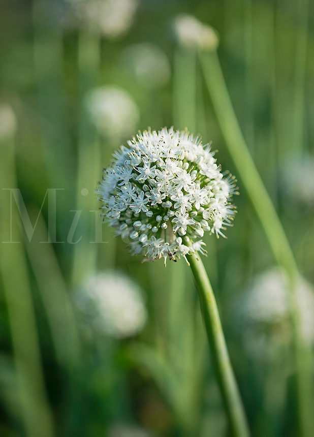 Onion flower, Allium