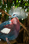 Victoria Crowned Pigeon (Goura victoria), Bali Bird Park