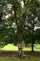 El Madrono, the national tree of Nicaragua, Lancetilla Garden, Honduras.Lancetilla Botanical Garden was established by American botanist William Popenoe in 1926.
