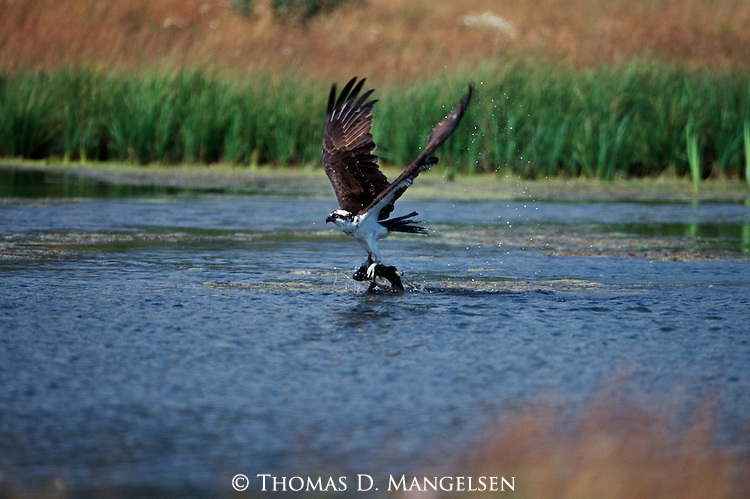 Osprey taking flight after catching a fish.