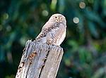 Asian Barred Owlet, Glaucidium cuculoides, perched on top of dead tree, Corbett National Park, Uttarakhand, Northern India, .India....