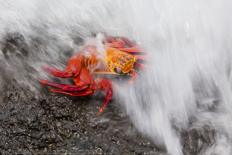 DIGITAL COMPOSITE: Sally Lightfoot crab, Punto Espanosa, Fernandina Island, Galapagos Islands, Ecuador