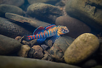 Orangethroat Darter<br />