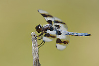389340005 a wild male eight-spotted skimmer libellula forensis perches on a dead branch at de chambeau ponds mono county california united states