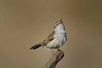 598030030 a wild bewick's wren thryomanes bewickii sings or vocalizes while perched on a twig in kern county california united states