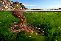 Common Octopus (Octopus vulgaris), Mediterranean Sea, Italy