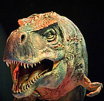 A Tyrannonsurus Rex mother snarles at the audience during a 90-minute show held at the Tacoma Dome in Tacoma, Washington on July, 11, 2007.  15 dinosaurs, which roamed the earth about 208 million years ago, have been brought back to life via truck batteries, hydraulics and puppeteers in the 90-minute show, Walking with Dinosaurs - The Live Experience, based on the award-winning BBC Television series kicked off it's seven city Summer tour in the U.S. and Canada.  (&copy; 2007 Jim Bryant Photography)...