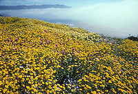 Native wildflower mix for California coastal bluffs including Layia, Nemophila, Lupine and Orthocarpus