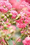 Horshoe Bay, Lake LBJ, Texas; Green Anole (Anolis carolinensis), green colored lizard in a pink flowering Crape myrtle (Lagerstroemia sp.) shrub/tree