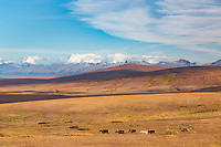 Herd of reindeer along the Teller Highway, Kigluiak Mountains in the distance, Seward Peninsula, Alaska.