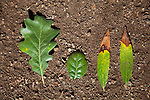 Valley Oak trees, lobe leaf type far left is NOT, susceptible to SOD.  Coast Live Oak trees, with oval leaf type in center, are highly vulnerable to SOD.<br />
