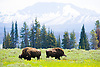 American Buffalo, or Bison Grazing in a meadow, Yellowstone National Park, Wyoming
