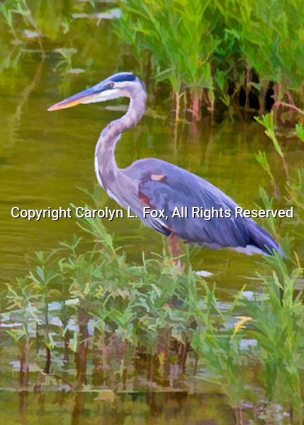 A great blue heron stands amid weeds in a local pond.