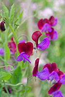 Lathyrus odoratus sweetpeas sweet pea Cupani aka Matucana, annual flowering fragrant vine