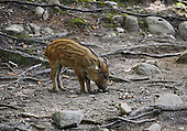 A baby wild boar in the forest