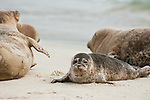 Harbor seals lay on the sand on Children's Pool beach backdropped by the ocean waves on the coast of La Jolla, California.