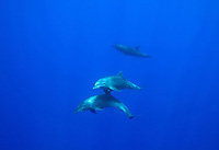 Dolphins swim underwater at Cocos Island off the coast of Costa Rica.