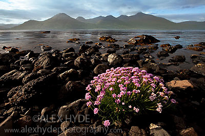 Flowering thrift {Armeria maritima} growing on loch shoreline. Isle of Mull, Inner Hebrides, Scotland, UK.