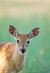 White-tailed deer fawn, National Bison Range, Montana, USA