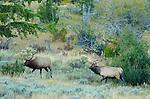 Elk at Dawn, Lower Mammoth, Yellowstone National Park, Wyoming