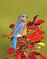 Male Bluebird on autumn burning busheastern bluebird, male bluebird, burning bush, red berries, autumn foliage, red leaves, Sialia sialis, print, photograph, photo, giclee, fine art, picture