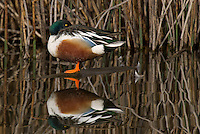 578380008 a wild male or drake northern shoveler anas clypeata in a pond at colusa national wildlife refuge califonia