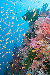 Bligh Waters, Vatu I Ra Passage, Fiji; an aggregation of Scalefin Anthias and other reef fish swimming above pink and purple soft corals and dark green Black Sun Corals