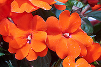 Impatiens, New Guinea, with orange flowers, Orange Sunpatiens