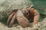 Blue Heron Bridge, Riviera Beach, Florida; a Giant Hermit Crab (Petrochirus diogenes) sifting through the sand for a meal