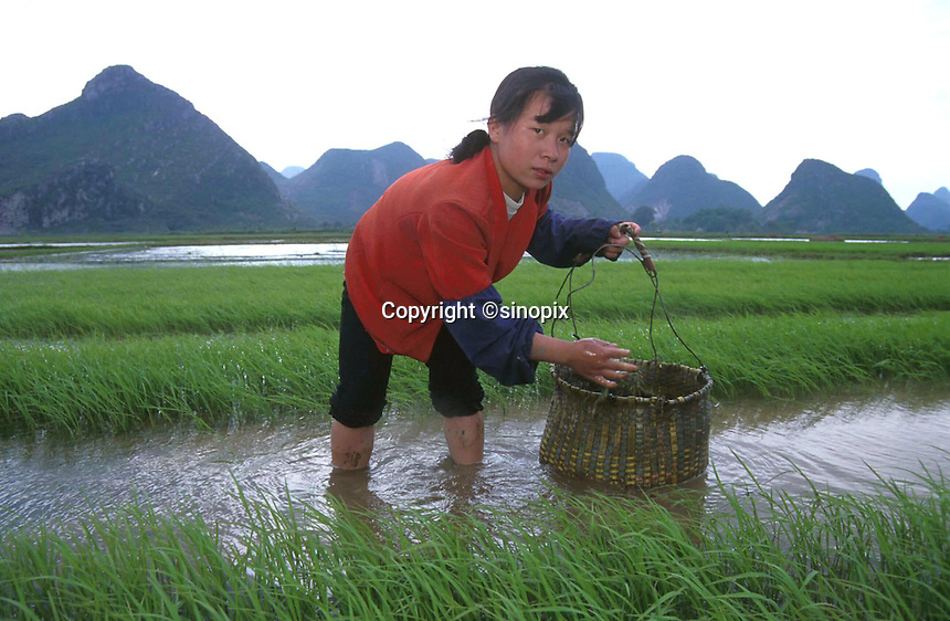 RICE PADDY: GUILIN, CHINA<br /> A woman works in a  rice paddy near Guilin, China. China's rice industry is threatened by increasing foreign imports following China's accession to the WTO. <br /> Photo by Richard Jones/SinopixChina<br /> &copy;sinopix
