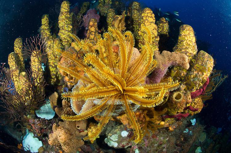 Orange crinoid with yellow tube sponge: Aplysina fistularis