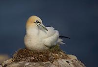 Gannet (Morus bassanus), Saltee Islands, Ireland.