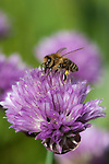 A bee collecting pollen on his legs from the allium flower to take back to the hive