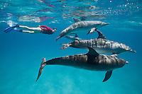 RW4816-D. Atlantic Spotted Dolphins (Stenella frontalis), with woman (model released) swimming alongside. Bahamas, Atlantic Ocean.<br /> Photo Copyright &copy; Brandon Cole. All rights reserved worldwide.  www.brandoncole.com