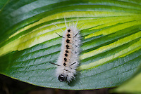 Caterpillar of Lophocampa caryae, the hickory tussock moth or hickory halisidota, is a moth in the family Arctiida, poisonous insect, poison ivy like rash, on Hosta June leaf in garden