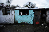 """Dublin, Ireland, January 10, 2011:.Horses being kept by their young owners at the abandoned Bell Camp College in northern Dublin. .Since the beginning of crisis, between 10 and 20 thousand horses have become homeless or went in the hands of the youths in urban areas. Lots of Irish people who used to buy horses for fun during the boom years of """"Celtic Tiger"""", now are abandoning them faced with expenditure of 35 Euro a week to properly maintain a horse. This animal previously worth 2000 Euro now can be purchased for as little as 80 Euro. New owners keep their horses in city greens, city ruins, or their house gardens, in very bad conditions. Most do not get much food, many are starving, dying, being mistreated..(Photo by Piotr Malecki)..Dublin, Irlandia, 10/01/2011:.Konie trzymane przez swoich mlodych wlascicieli w opuszczonej szkole Bell Camp College..Od poczatku kryzysu od 10 do 20 tysiecy koni zostalo wyrzuconych na ulice przez wlascicieli nie chcacych placic okolo 35 Euro/tydzien za ich utrzymanie. Wpadaja one czesto w rece mlodziezy z ubogich dzielnic miasta, ktora handluje nimi, bije, glodzi, trzyma w skrajnie trudnych warunkach, w przydomowych ogrodkach lub ruinach budynkow i szaleje na nich po miescie. Kon, ktory byl wart 2000 Euro teraz moze byc kupiony za 80. .Fot: Piotr Malecki."""